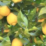 When Life Hands You Lemons….