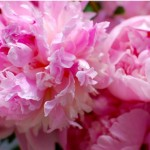 Friday Flowers -Ode to the Peony