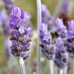 Lavender Longings