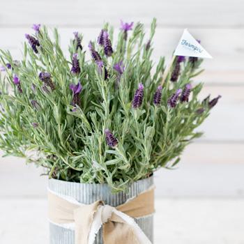 lavendarright