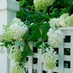 Summer of the Hydrangeas