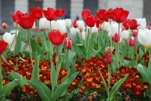 Tulips in Washington D.C.