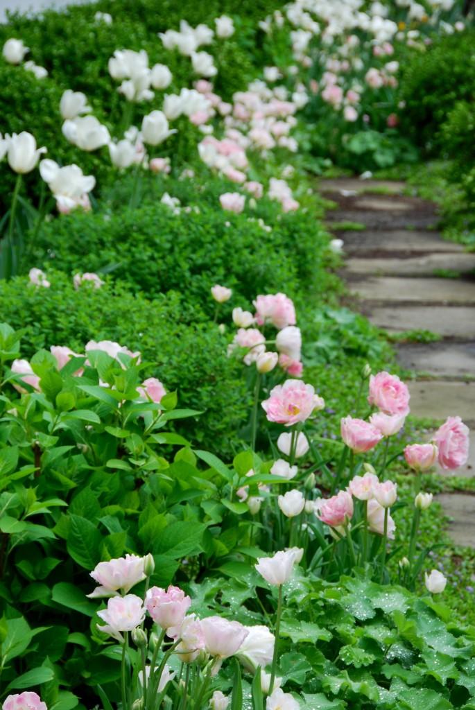 Pretty Pink Tulips