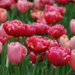 Tulips in Bloom